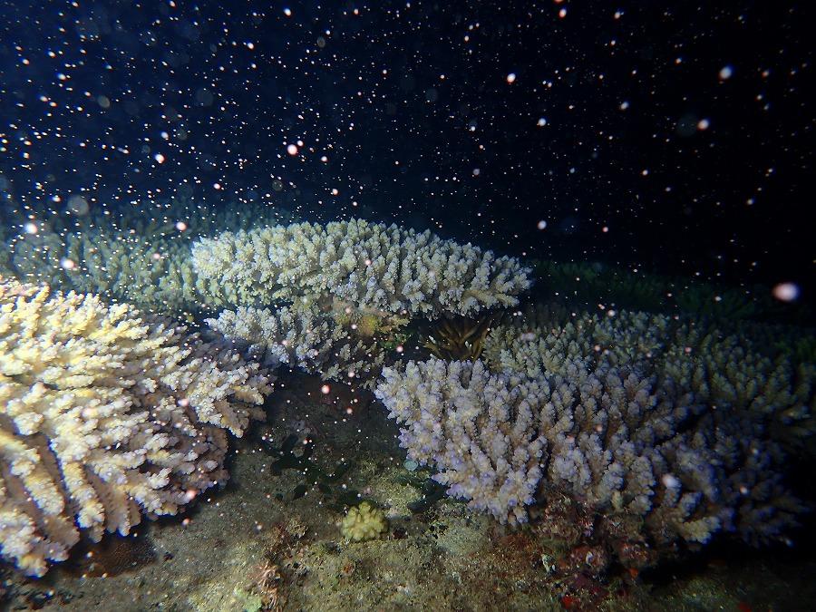 2020年 恩納村 サンゴ産卵
